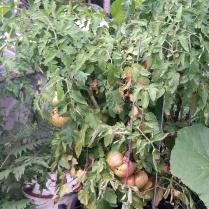 Brian K - Big Tomatoes