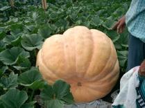 Frank A Pumpkin