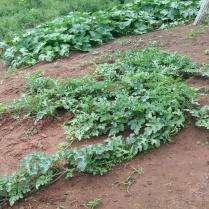 Frank A - Watermelon Plant